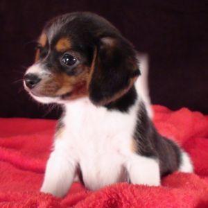 Queen Elizabeth Pocket Beagle Puppies For Sale Pocket Beagle Beagle Puppy Pocket Beagle Puppies