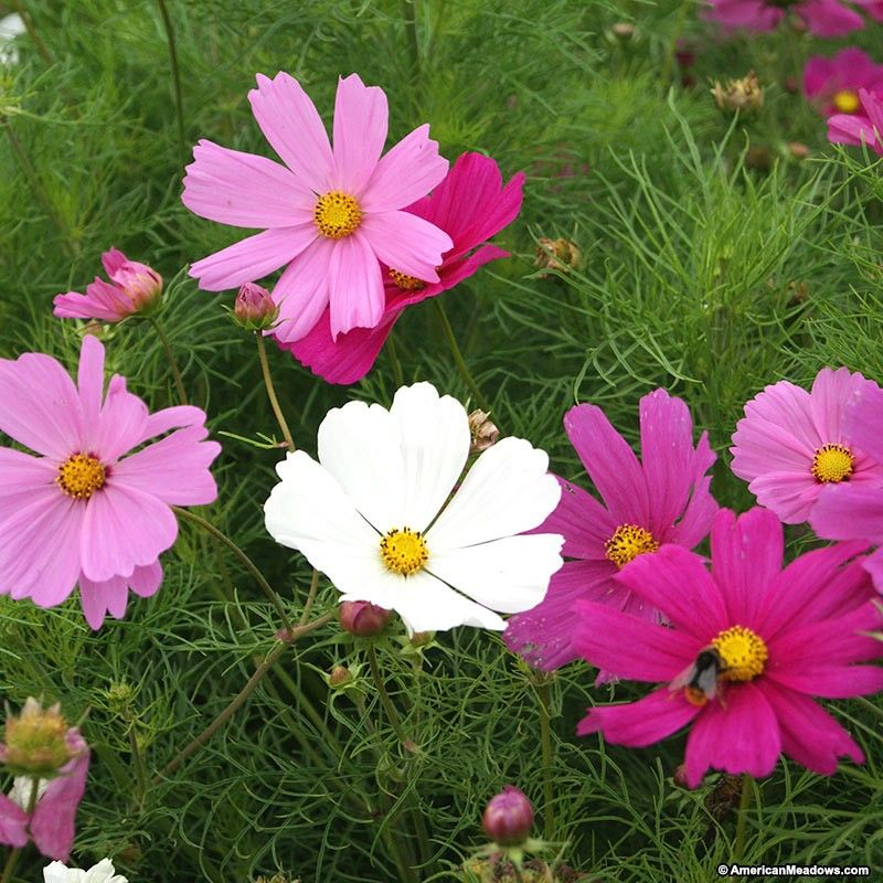 Looking For An Earlier Start To Your Cosmos Blooms The Dwarf Sensation Mix Is The Perfect Choice Bursting In A Vari Cosmos Flowers Flower Garden Cosmos Plant
