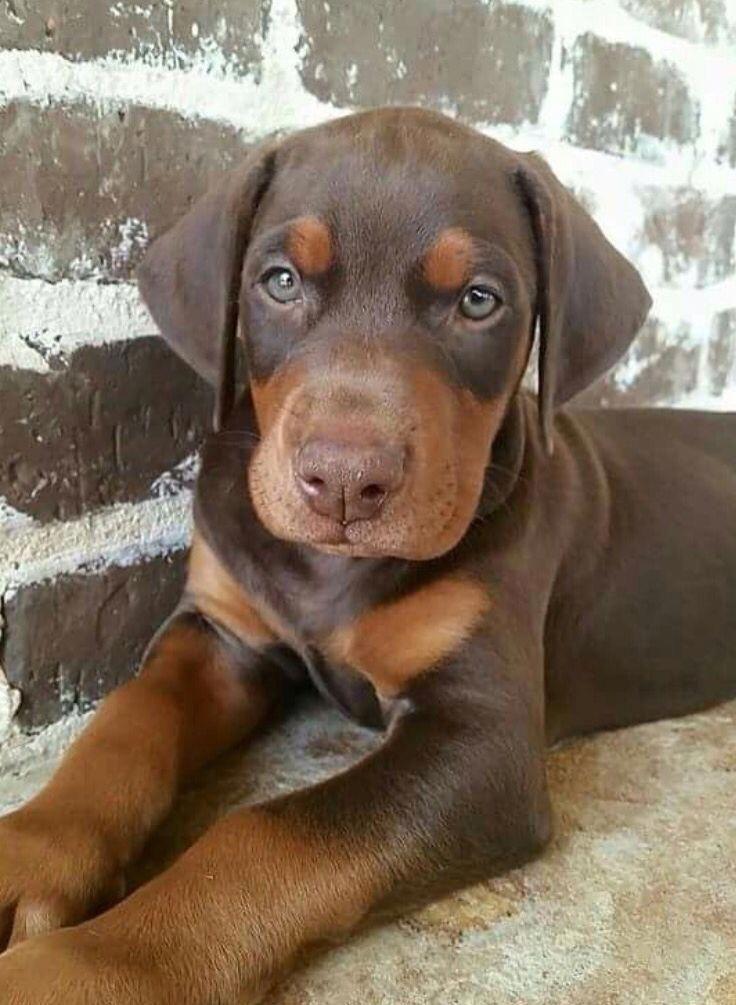 Doberman pinscher loyal and fearless doberman puppy