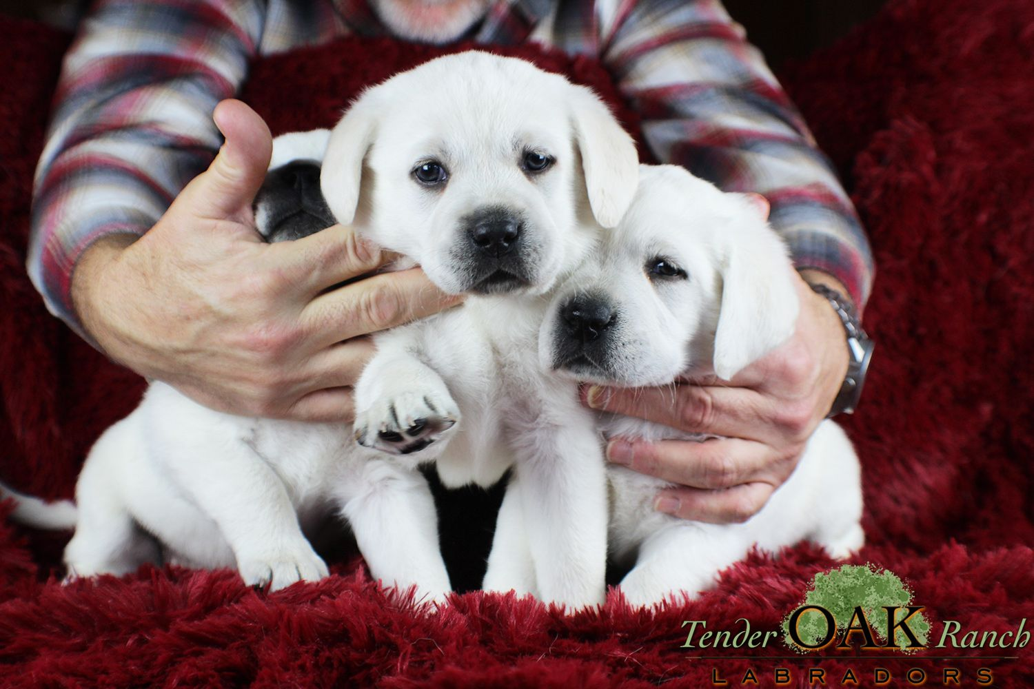 Yellow Lab Puppy Ready For Sale Labrador Puppies For Sale Labrador Puppy Yellow Lab Puppy