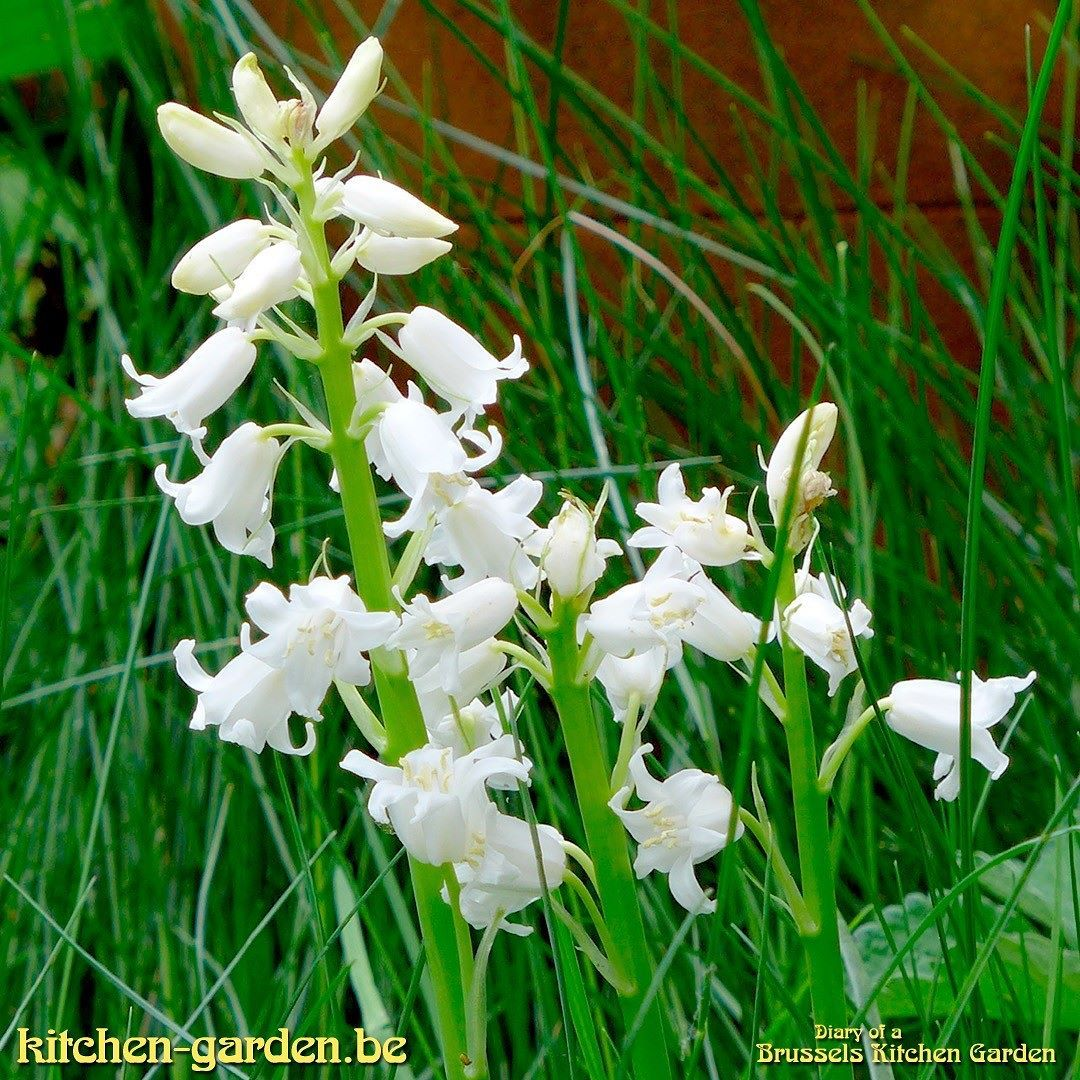 White bluebells flowers bluebells kitchengarden gardening white bluebells flowers bluebells kitchengarden gardening growing bluebells are considered indicators mightylinksfo