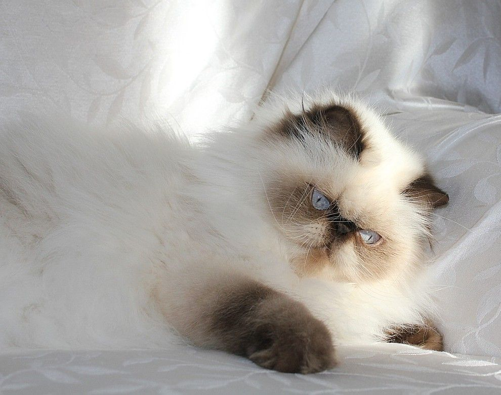 Alfenloch Himalayan And Persian Kittens Ontario Canada 2012 Himalayan Kittens And Persian Kittens In Chocolate Lilac And Traditional Colors Gatos Animais