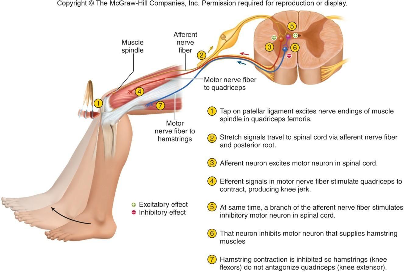 patellar reflex pathway - Google meklēšana | Anatomija
