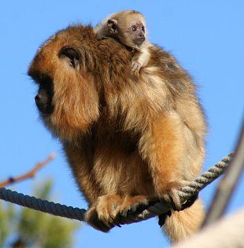 Le singe hurleur, un bébé qui fait du bruit