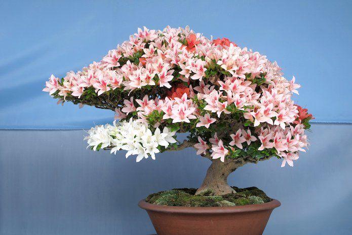 top 10 des plus beaux bonsa s bonzai arbres bonsa s. Black Bedroom Furniture Sets. Home Design Ideas