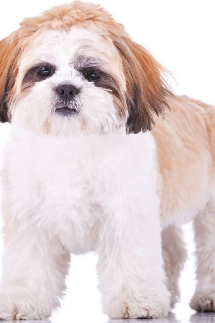 Standing Shih Tzu Puppy Looking At The Camera On White Background Shihtzu Shih Tzu Puppy Shih Tzu Puppies