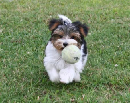 Josione of my Biewer Yorkshire Terriers I bred
