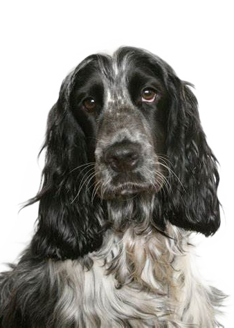 Dog Png Black And White High Quality In 2020 English Cocker Spaniel Cocker Spaniel Temperament English Cocker