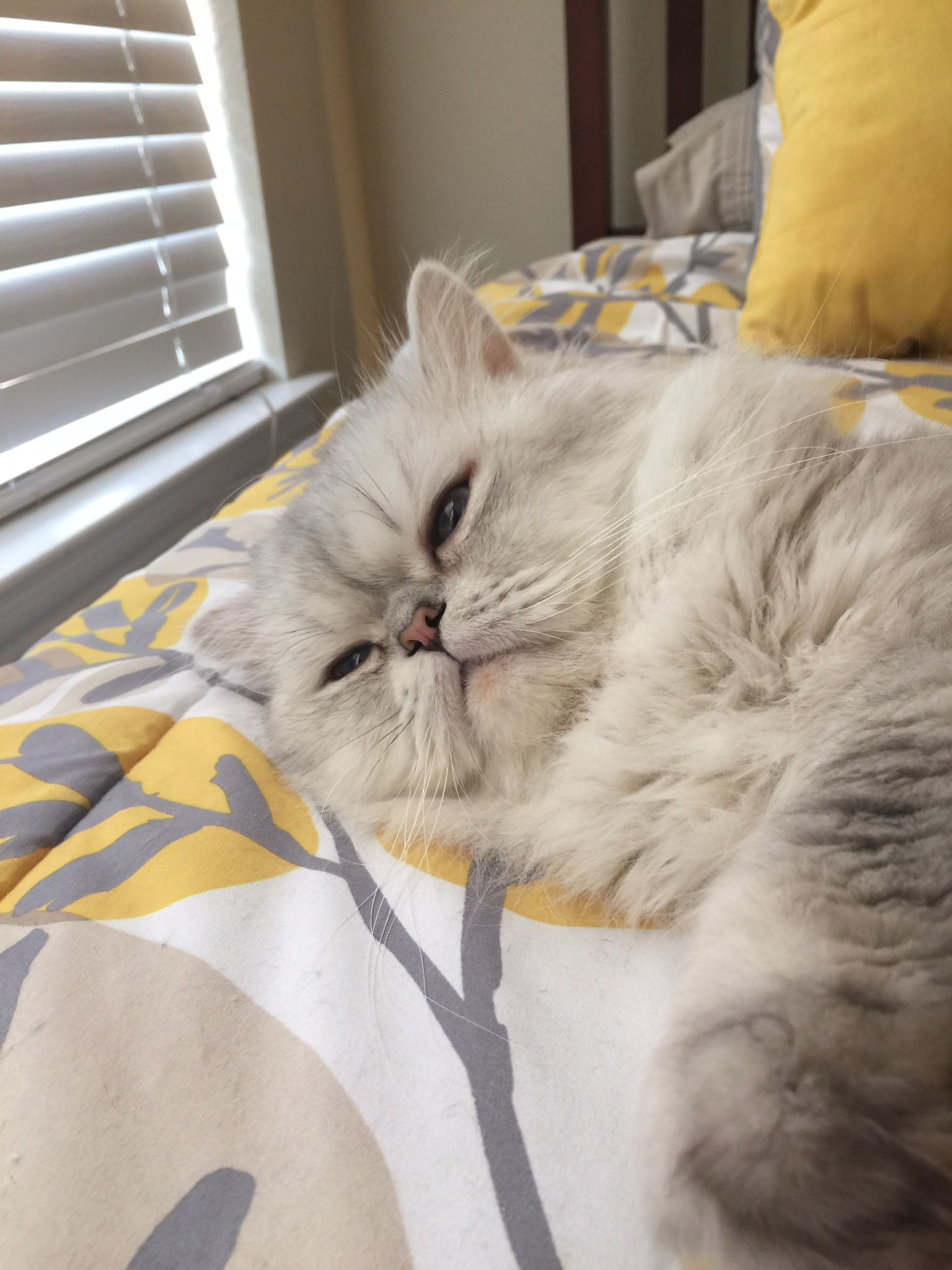 Pin by Morris on Cats Persian kittens for sale