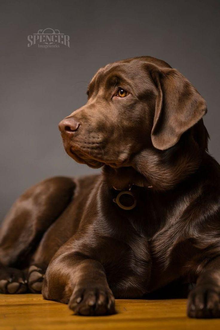 Beautiful Labrador Retriever Tiere Hund Grosse Hunde Labrador Hund