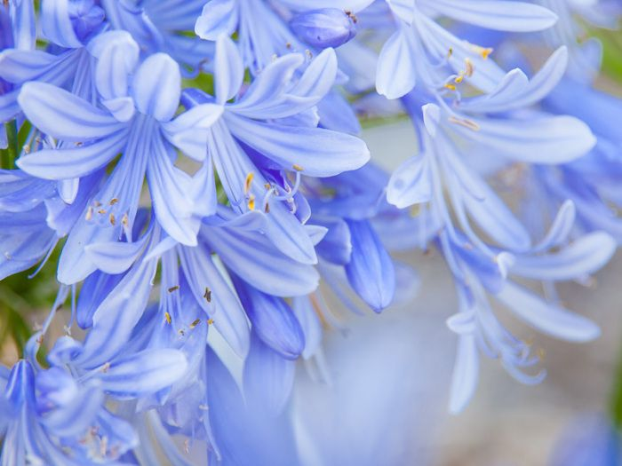 Agapanthus Flower Of Love African Blue Lily Biennial Plants Agapanthus Plants