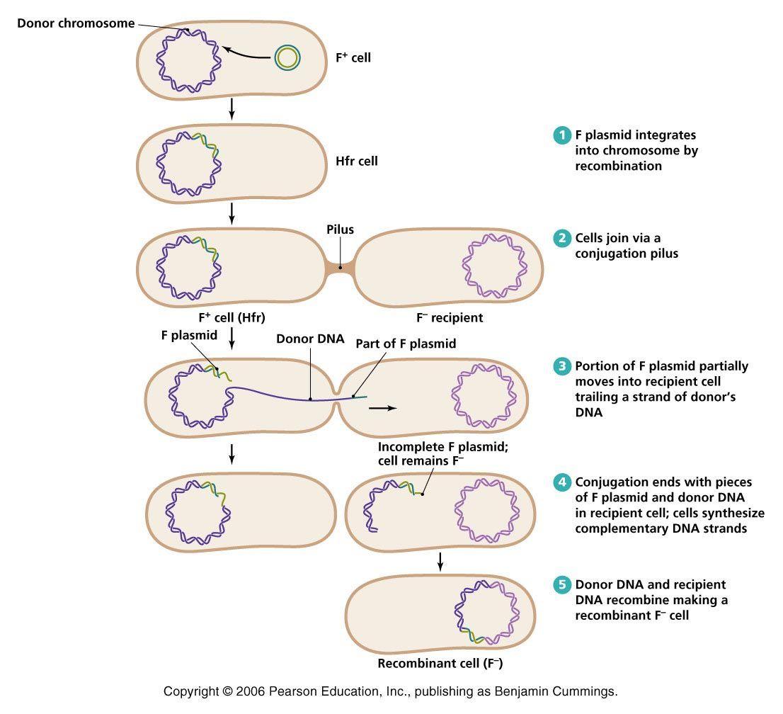 07-33_HfrConjugation_L.jpg (1106×1008) | Bio: Bacteriology ...
