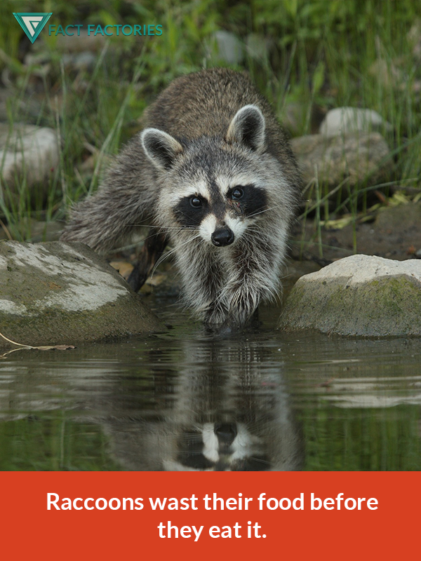 Raccoons Wash Their Food Animals Pinterest Raccoons And Animal
