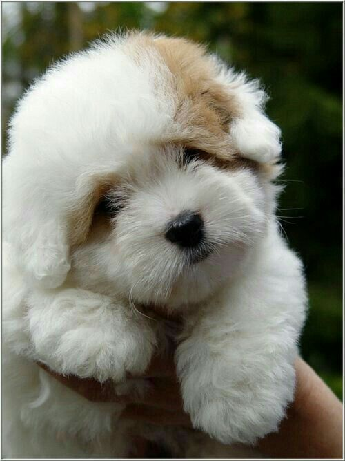 Terrier Cute Animals Fluffy Puppies Pets