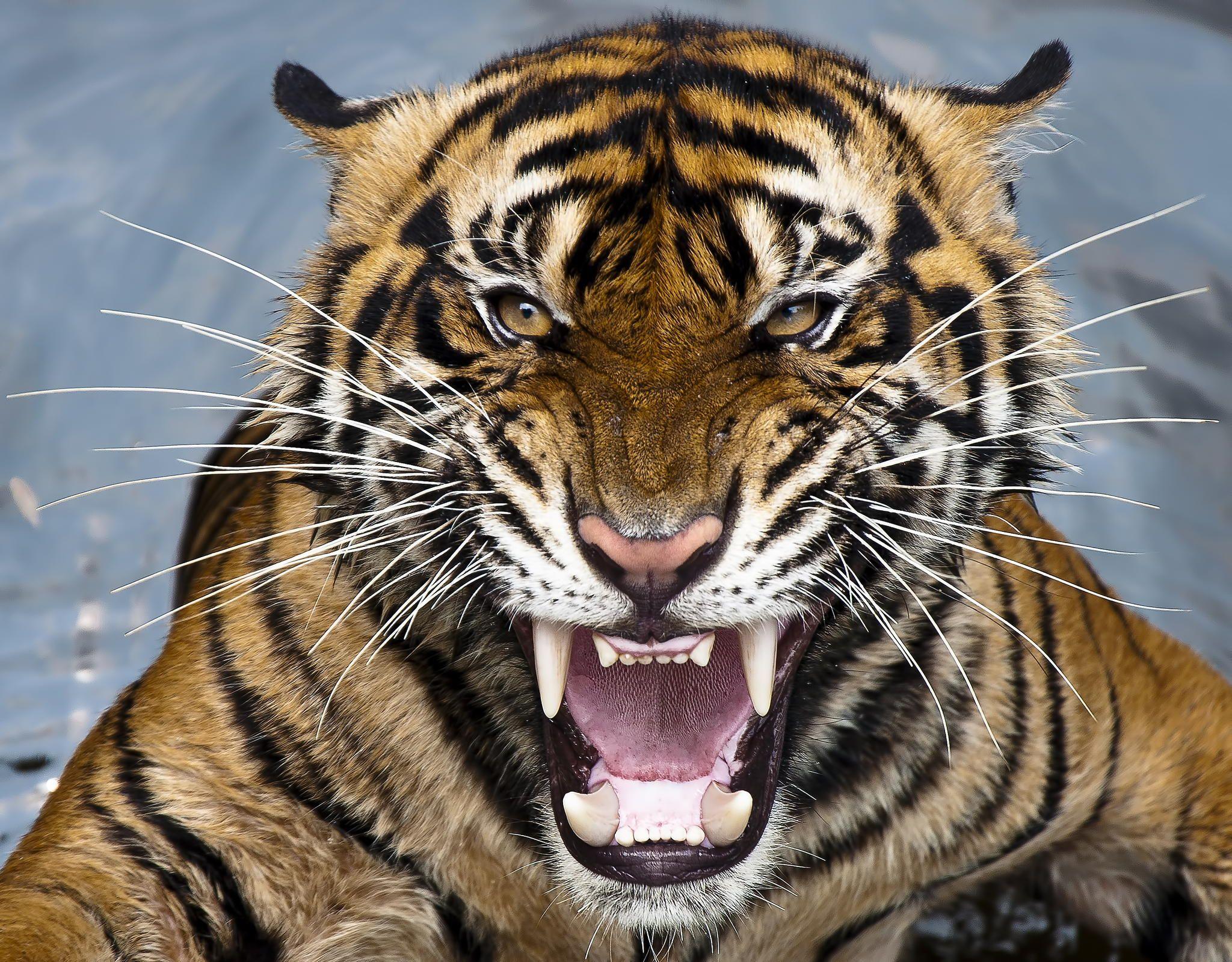 Тигр с оскалом картинка