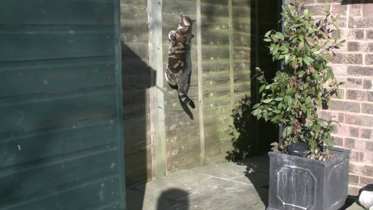 An excellent cat that defies gravity