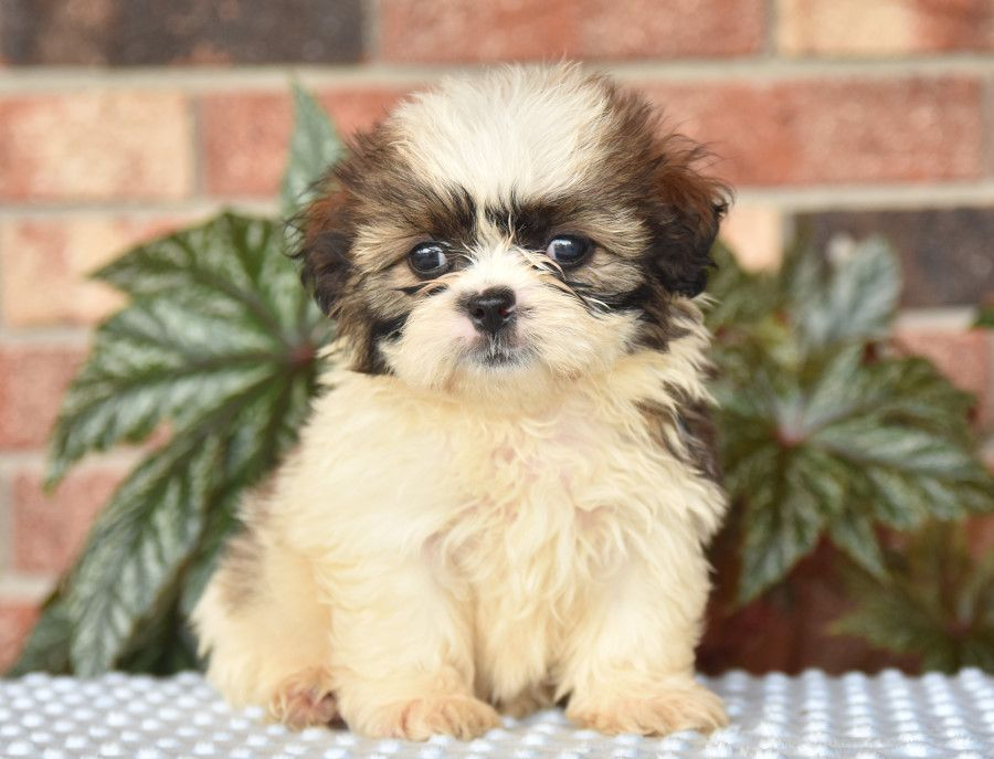 Puppies For Sale With Images Puppies Dog Breeder Lancaster Puppies