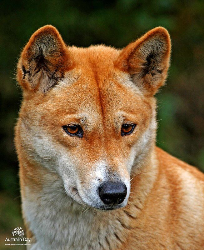 Today S Photo Australian Native Animals Australian Animals Wild Dogs