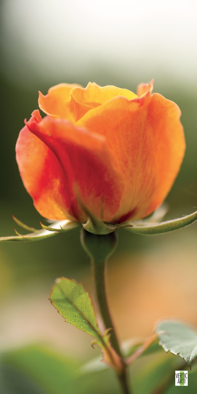 La Rose Orange Une Fleur Ardente La Rose Orange Exprime L Enthousiasme Le Desir L Admiration Ses Tonalites Chaudes Font Vib Fleurs Belles Fleurs Rose Orange
