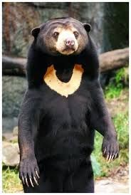Malayan Sun Bears, are the smallest member of the bear family. They live in the dense lowland forests of Southeast Asia and get their name from the bib-shaped golden or white patch