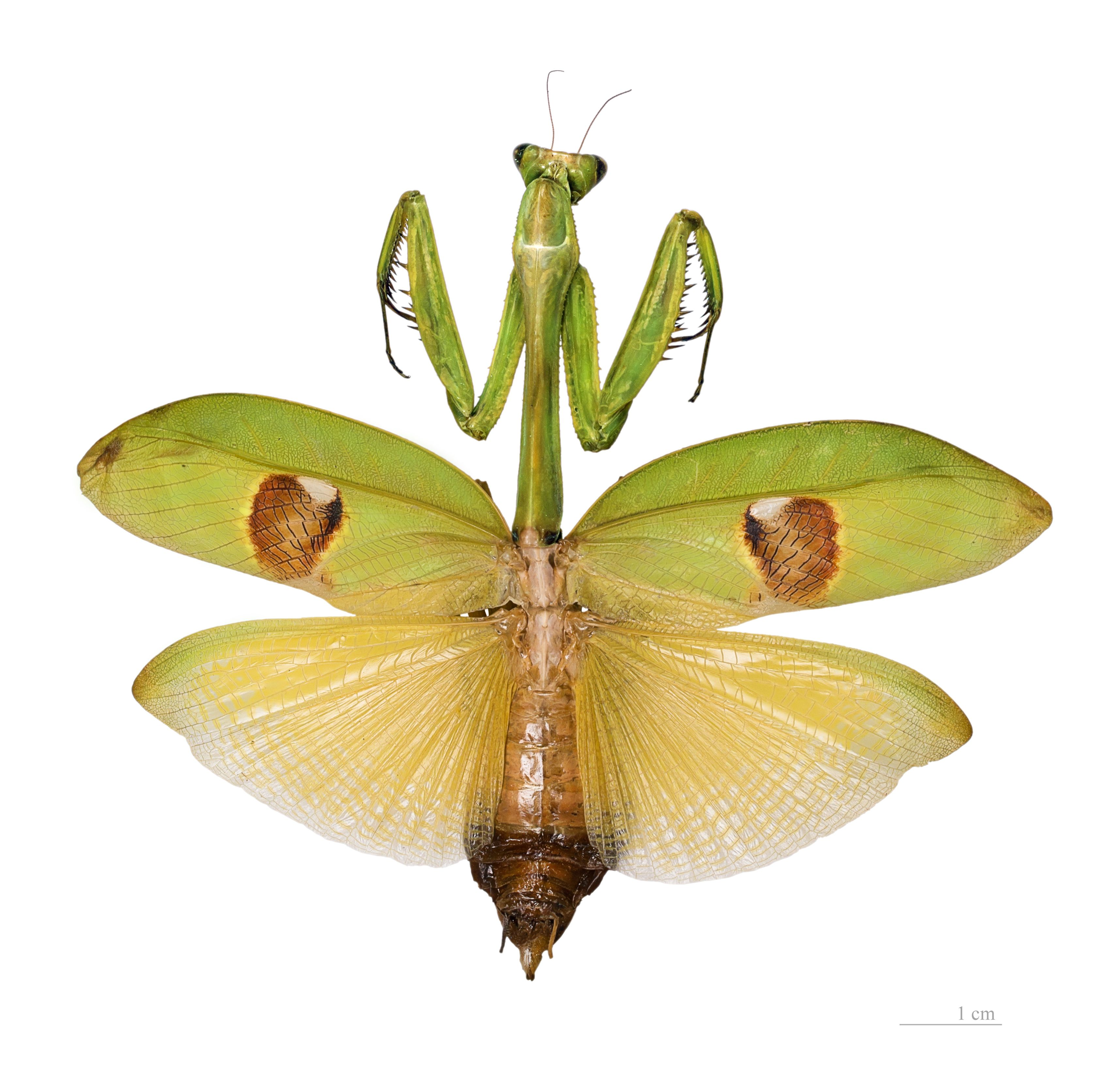 Praying Mantis Wings Google Search Insects Beautiful Bugs