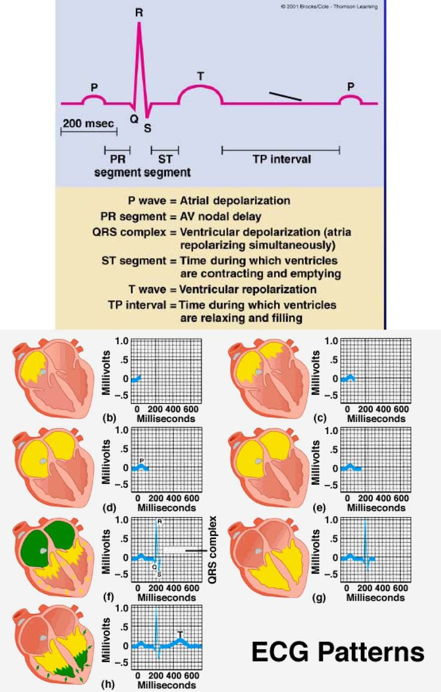conduction system of the heart and The myocardial conducting cells (1 percent of the cells) form the conduction  system of the heart except for purkinje cells, they are generally much smaller  than.