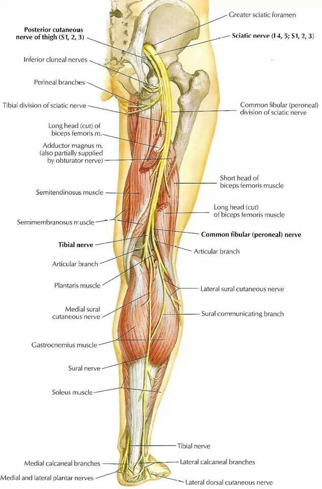 Sciatic nerve | The Human Body | Pinterest