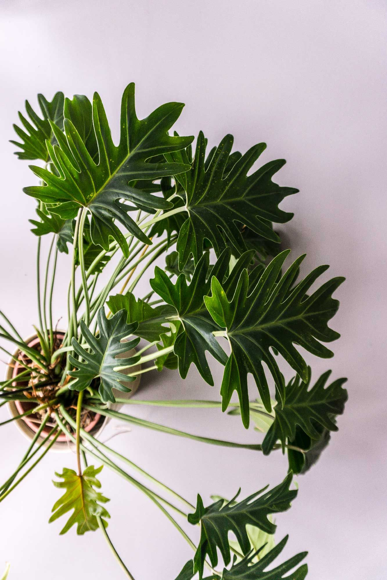 Caring for your philodendron xanadu on philodendron