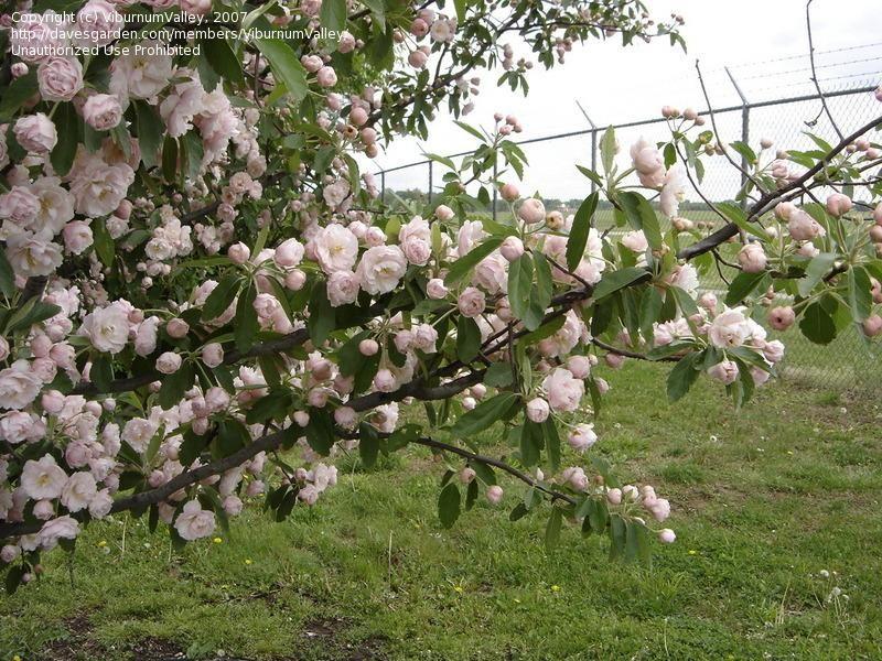 full size picture  fringe petal crabapple flowering