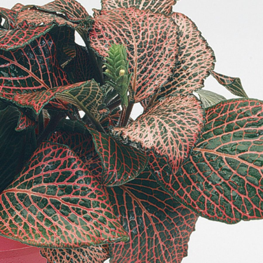 Plant care instructions for fittonia juanita grow for How to take care of exotic angel plants