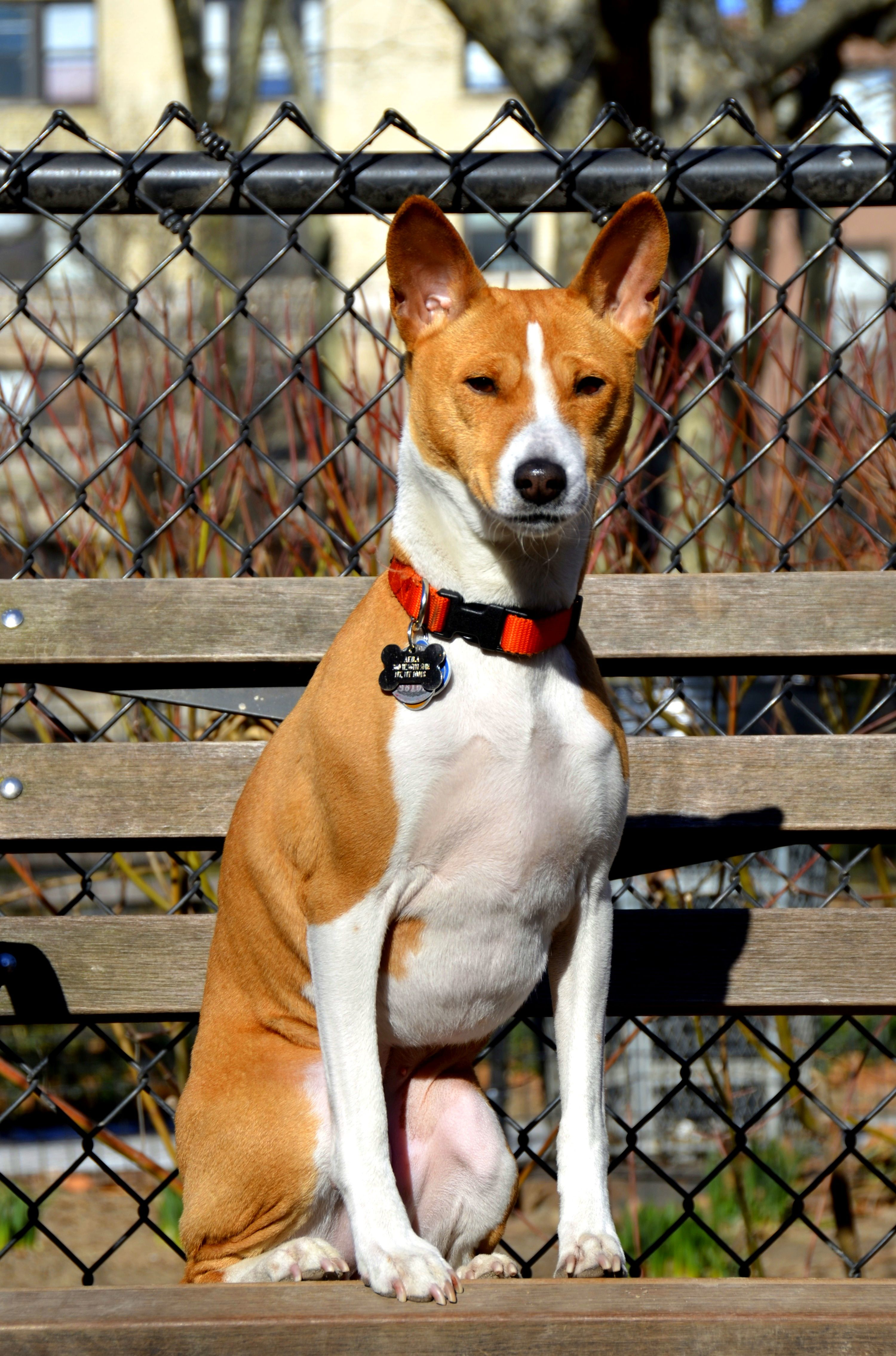 Basenji Puppy Dogs Yorkshire Terrier Puppies Dogs Basenji Dogs