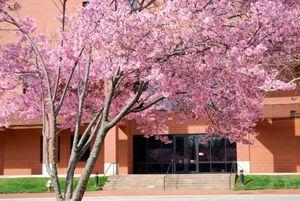 Pink Cloud Flowering Cherry Flowering Cherry Flowering Cherry Tree Pink Clouds Garden Trees