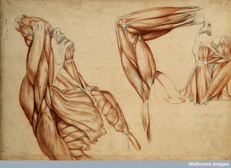 Muscles and tendons of the neck, arm and trunk: two écorché | body ...