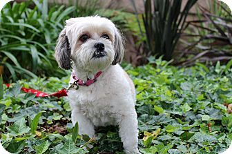 I'm being cared for by: Dogs WIthout Borders   Help me get seen & adopted!      Facts about Lady  Breed: Lhasa Apso/Shih Tzu Mix Color: White Age: Young Size: Small 25 lbs (11 kg) or less Sex: Female