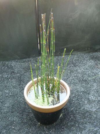 Mini bassin avec un pied de pr le du japon et des for Mini bassin de jardin