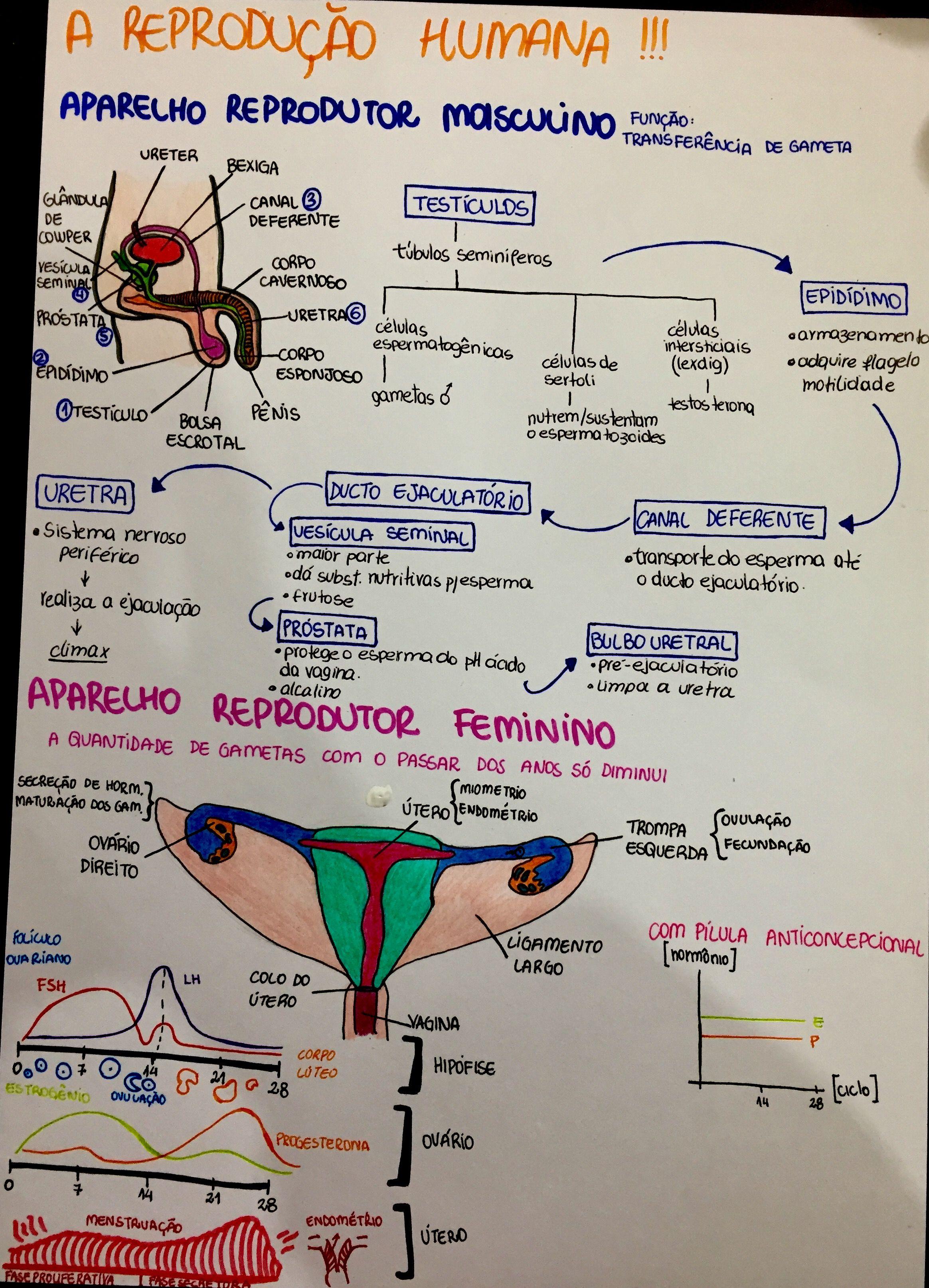 Resumo De Biologia Reproducao Humana Exercicios De Anatomia