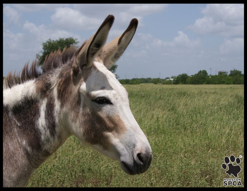 In Addition To Horses The Houston Spca Also Has Donkeys Available