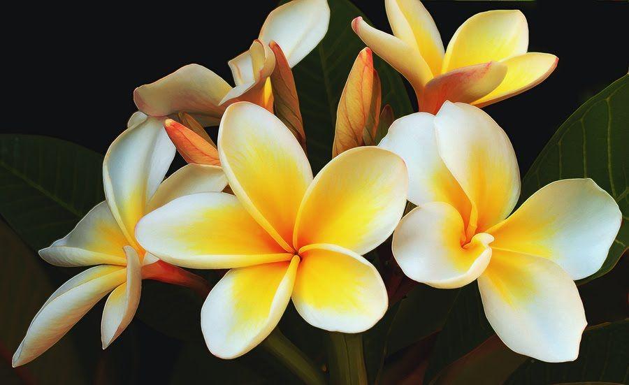 Melange Perfume Melange Frangipani Perfume For Summer Frangipani Plumeria Flowers