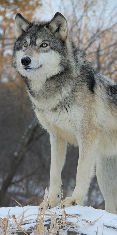 Beautiful Pictures Of Wolf Dogs