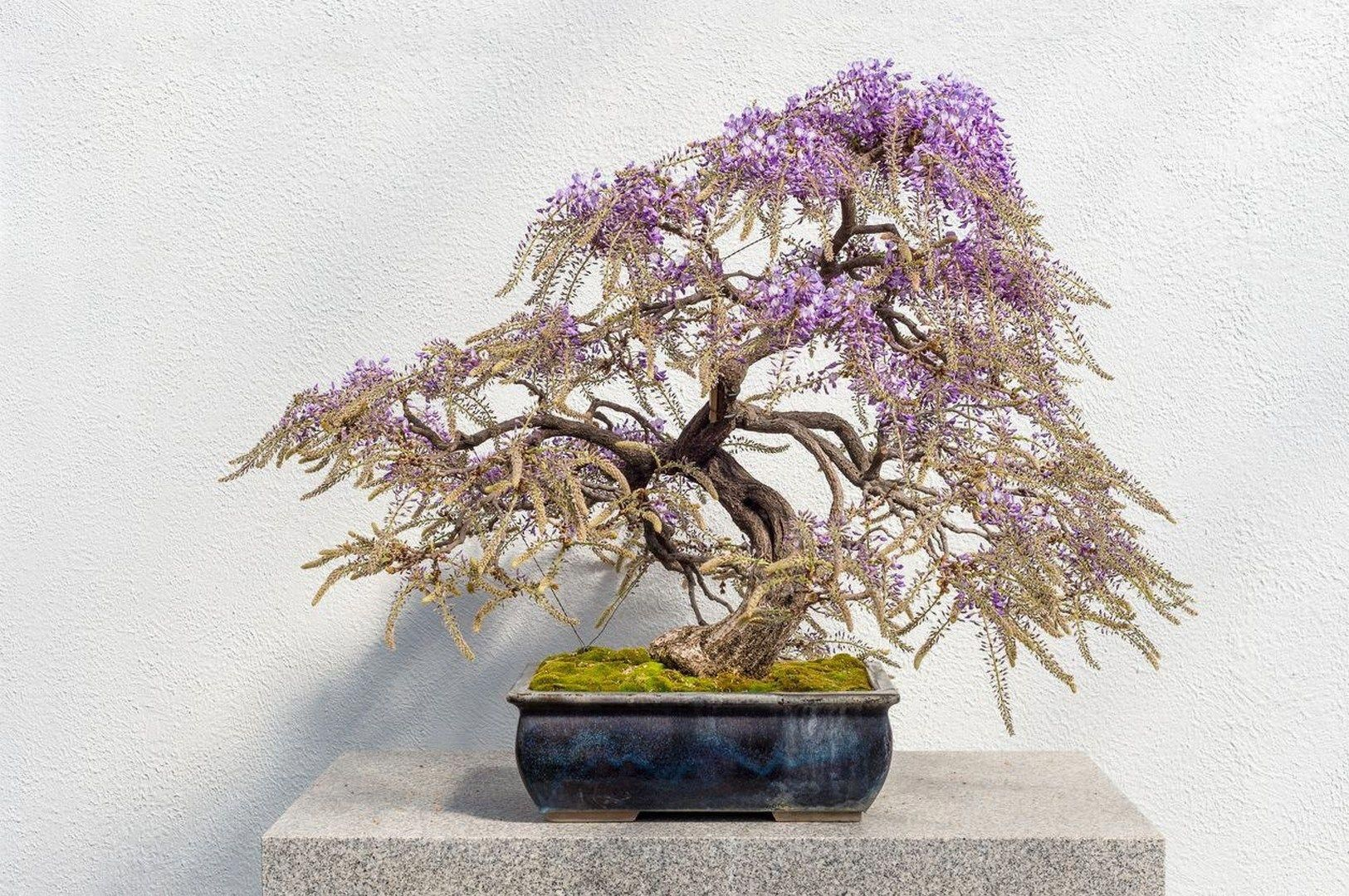 25 How To Grow Wisteria In A Pot 1 Bonzaitree Bonsai Tree Types Wisteria Bonsai Flowering Bonsai Tree