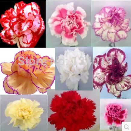 100 Pcs Bag Carnation Seeds Dianthus Caryophyllus Potted Plants Planting Seasons Flowering Plants Flower Seeds Seed Pots Seeds For Sale