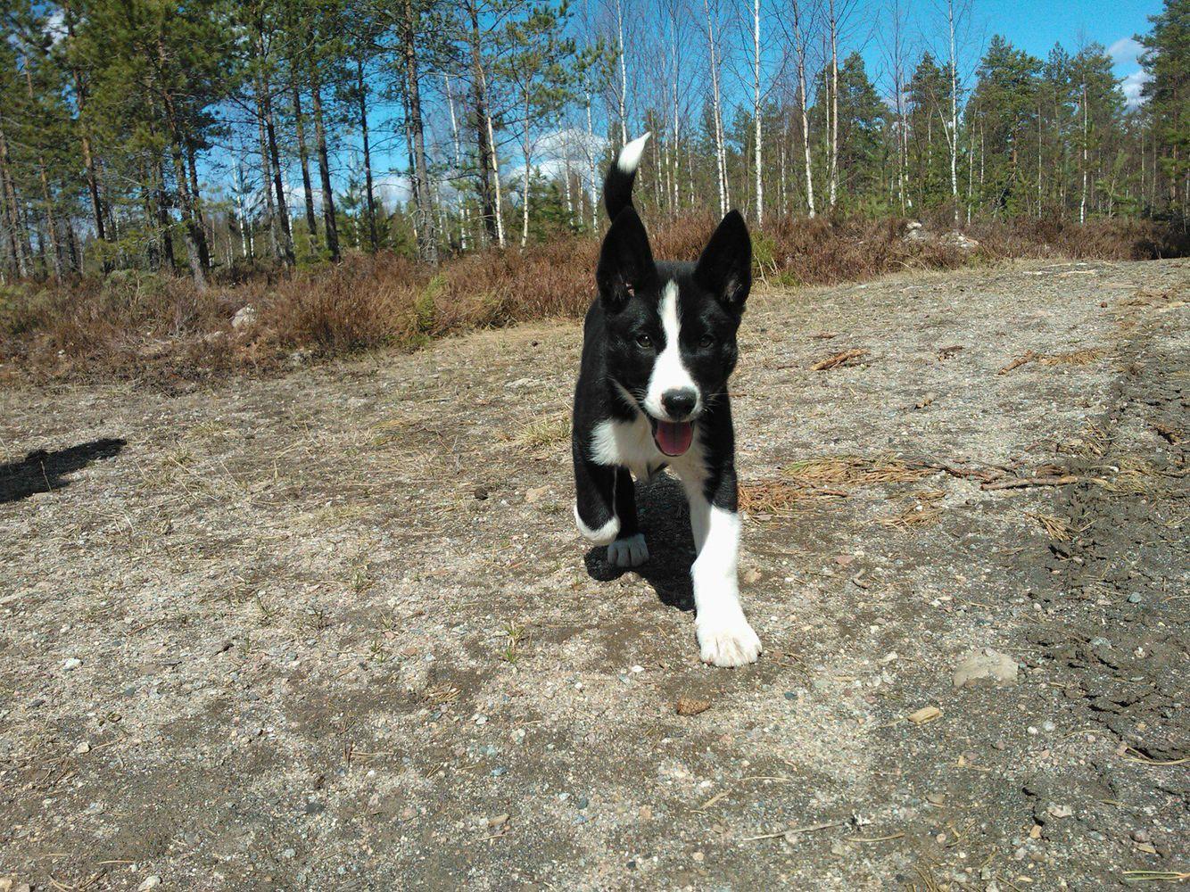 Karelian Bear Dog With Images