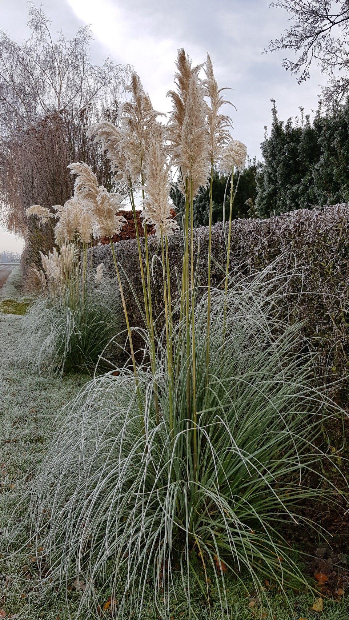Pampasgras Vor Hecke Im Winter Garten Landschaftsbau Garten Ideen Garten