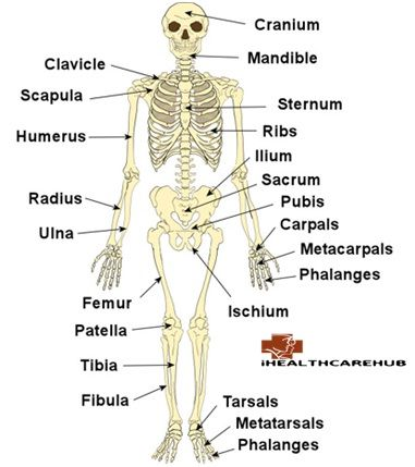 Bones in adult human body
