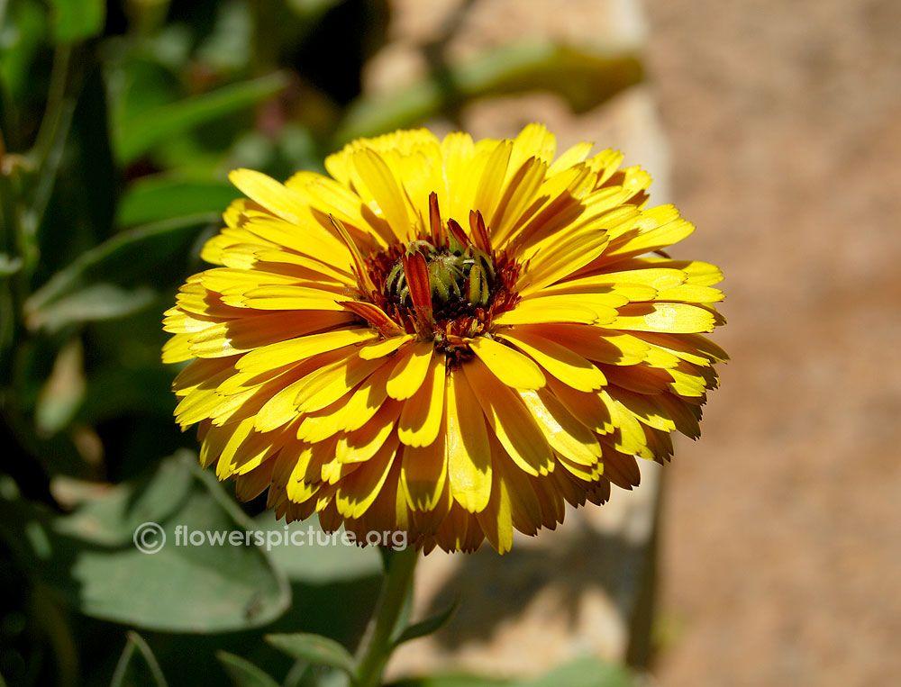 Yellow calendula Calendula, Flowers, Plants