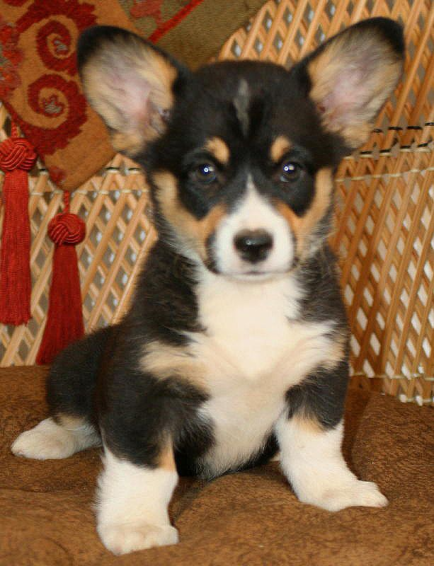 Noble Hearts Pembroke Welsh Corgi Breeder Puppies For Sale Corgi