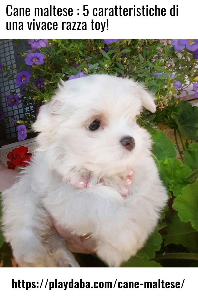 Il Cane Maltese E Un Cane Di Picc Cane Cani Dog Dogs