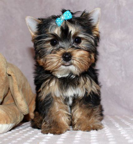 Free Yorkshire Terrier For Adoption Yorkshire Terrier Puppies