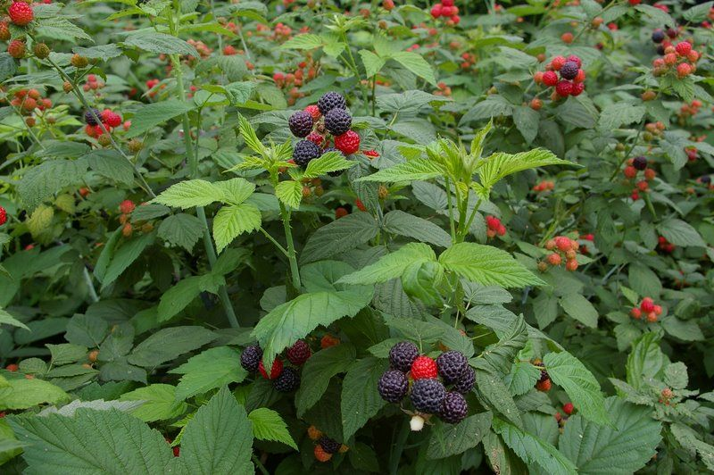 Blackberries, (red) raspberries and black raspberries are distinct but closely related fruits, all in the genus Rubus. Description from answers.com. I searched for this on bing.com/images