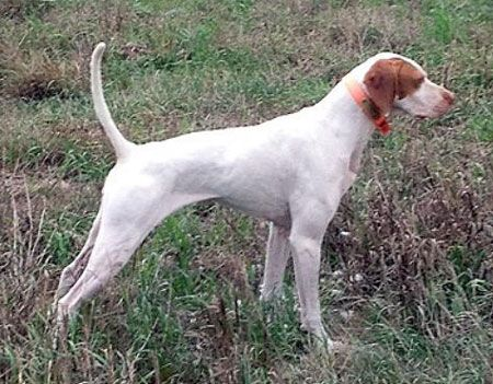 English Pointer Hunting Dog For Sale Dogs For Sale Pointer